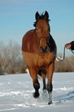 Horse trotting in snow. Hanavarian bay horse trotting in snow with owner Royalty Free Stock Images