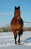 Horse trotting in snow. Hanavarian bay horse trotting in snow Royalty Free Stock Image