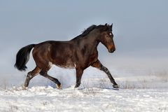 Horse trotting in snow royalty free stock photos