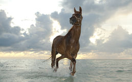 Horse trotting at sunrise. Horse trotting in the sea water at the beach Royalty Free Stock Image