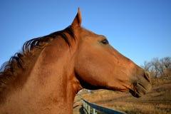 Horse Akhal-Teke Royalty Free Stock Images