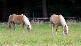 Horse, two blond Haflinger stock video footage