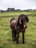 Horse. Typical domesticated horse in Iceland Royalty Free Stock Photos