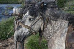 Horse under saddle on a leash. Stock Image