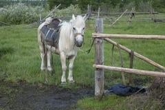 Horse under saddle on a leash. Stock Photography