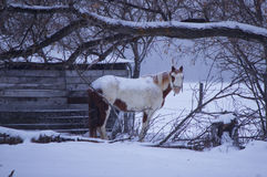Horse under a thick tree branch. White spotted horse under a tree limb in blowing snow Stock Images