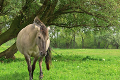 Horse under a tree Royalty Free Stock Photo