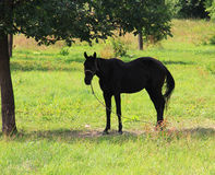 Horse under a tree Royalty Free Stock Photos