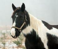 Horse Unkept Royalty Free Stock Image