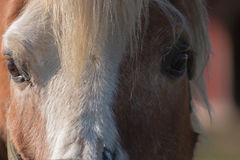 Horse up-Close. Straight on close-up of a horse face, focsing on the eyes Royalty Free Stock Images
