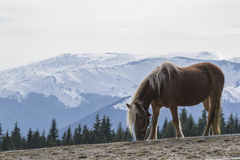 The horse up in the mountains Stock Photography