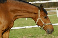 Horse. Very closeup to photgrapher´s objective royalty free stock photo