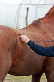 Horse - veterinary examination Royalty Free Stock Image