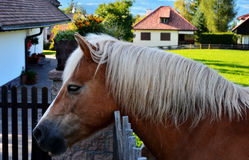 The  horse in village (farm) with white mane Stock Photos