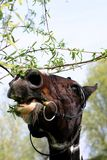 Horse vs tree. A portrait of a painted dutch warmblood horse eating a tree royalty free stock photo