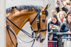 A Horse waiting for the Guard Ceremony to begin at Buckingham Pa Stock Photography