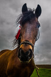 Horse waiting for the storm. A brown horse sitting on a green field, waiting for the storm Stock Images