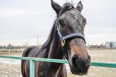 The horse walked around the stadium Royalty Free Stock Images