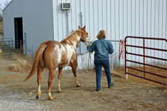 The Horse Walker. A woamn walks her horse back to the pasture Royalty Free Stock Images
