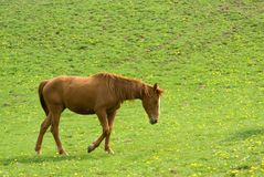 Horse  walking Royalty Free Stock Images