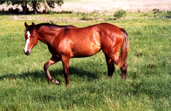 Horse Walking. Yearling bay filly walking in lush green pasture, north Texas Stock Image