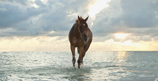 Horse walking at the beach. Thoroughbred mare walking in the sea water at sunrise Stock Photos