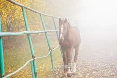 Horse walking in corral in the early misty morning. Alone horse walking in paddock in the early misty morning royalty free stock photos