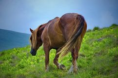 Horse walking on a fresh mountain pasture. Brown horse walking on a fresh mountain pasture Royalty Free Stock Photography