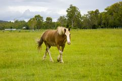 Horse walking in green paddock Royalty Free Stock Photography