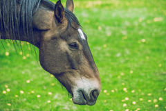 Horse walking in hot day in summer sun. 2014 stock image