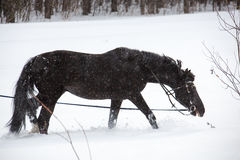 The horse walking on a lunge. The equine walking on a lunge in winter forest. Horizontal outdoors shot royalty free stock photos