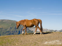 Horse walking in mountain. Pastured horse walking in Switzerland Stock Photography