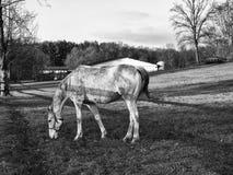 Horse walking on paddock Royalty Free Stock Image