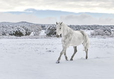 Horse walking in Snow Stock Images