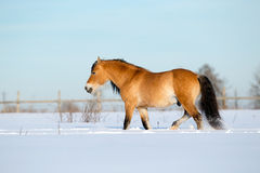 Horse walking in winter Royalty Free Stock Photo