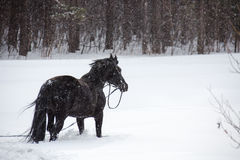 The horse walking in winter woods Stock Photography