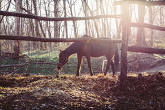 Horse walks in corral. On the background of  departing spring sun Royalty Free Stock Images