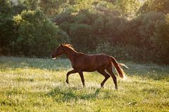 Horse walks at dawn. In Russia Royalty Free Stock Images