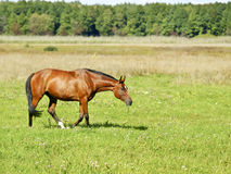 Horse walks on a field Royalty Free Stock Photo