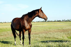 A horse walks in the field. The foal is walking with his parents Royalty Free Stock Photos