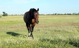 A horse walks in the field. The foal is walking with his parents. In a meadow. Little pony. Thoroughbred horse breed. Thoroughbred a stallion. Three huge horse Stock Images
