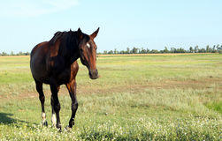A horse walks in the field. The foal is walking with his parents Royalty Free Stock Photo