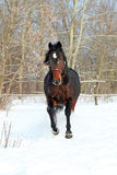 Horse walks winter Stock Photos