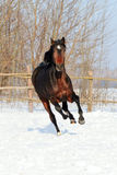 Horse walks winter. Young purebred, thoroughbred horse, beautiful horse, bloodstock, graceful animal, noble animal, ungulate, herbivore, bay horse, sorrel Royalty Free Stock Photo