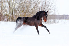 Horse walks winter Stock Photography