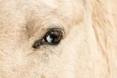 Horse with Wall Eye Royalty Free Stock Images