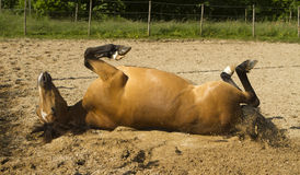 Horse wallowing on paddock Royalty Free Stock Photos