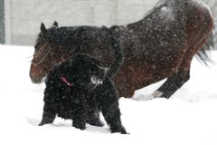 Horse wallows in the snow during a snowfall next to the black dog royalty free stock photos
