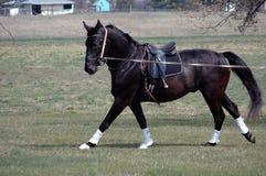 Horse warm-up training Stock Photography