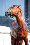 Horse wash Royalty Free Stock Image